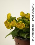 Small photo of calceolaria integrifolia in pot with white background