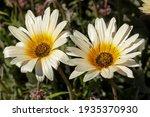 White And Yellow Gazania Rigens ...