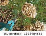 Pruning A Hydrangea Shrub With...