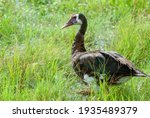 Spur Winged Goose In The Grass