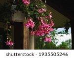 Dark Pink Flowers On Hanging...