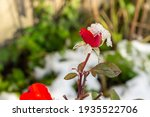 Blooming Red Rose After Snow...