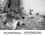 Young Cute Newborn Baby Calf At ...