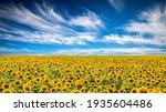 Panorama Landscape Of Sunflower ...