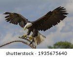 Impressive Bald Eagle On A...