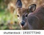 Baby White Tailed Deer At The...