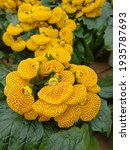 Small photo of The slipper flower (Calceolaria) is native to Chile and belongs to the slipper family