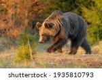 Brown Bear In Vysoke Tatry...
