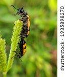 Black Spotted Orange Beetle...