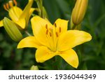 Photo Of Yellow Lily Flower In...