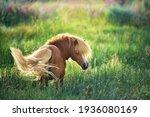 Shetland  pony on green summer...