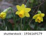 Tete A Tete  Little Narcissus   ...