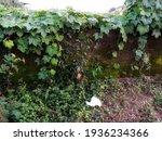 Sicyos Angulatus Plant That...