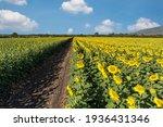 Big Bright Yellow Sunflowers....