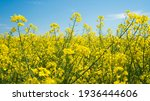 The Rapeseed Field Blooms With...