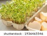 Cress In Eggshells  Egg Carton...