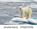 Polar Bear On Melting Ice Floe...