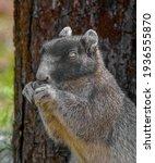 Sherman's Fox Squirrel  ...