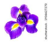 Beautiful Iris Flower Isolated...