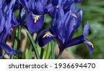 Iris Reticulata Harmony In...