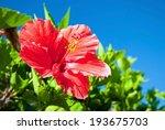 beautiful view of red hibiscus... | Shutterstock . vector #193675703