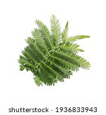 Beautiful Mimosa Branch With...