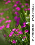 Background Of Wild Carnations....