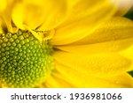 Yellow Chrysanthemum Close Up...