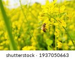Bees Collecting Nectar In A...