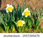 First Yellow Daffodils In The...