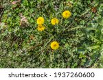 A Cluster Of Yellow Dandelions...