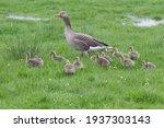 Alert Mother Grey Leg Goose...