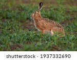 Brown Hare Sitting In A Green...
