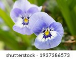 Close Up Of Blue Pansy Flowers...