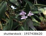 dendrobium kingianum. macro...   Shutterstock . vector #1937438620