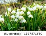White Summer Snowflake Flowers  ...