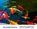 Colorful Fancy Carp Fish In The ...