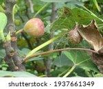 Garden Spider Argiope Aurantia...