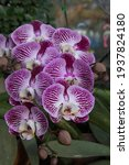 Phalaenopsis Or Moth Orchid...
