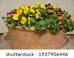 Colorful Pansy Flowers Growing...