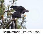 A Bald Eagle Begins To Take...