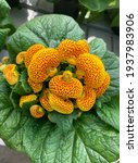 Small photo of Pocketbook plant. Calceolaria. High angle view.