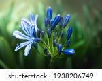 Blooming Blue Agapanthus Flower ...