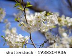 Cherry Blossoms Blooming And...