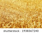 Ripe Wheat In An Agricultural...