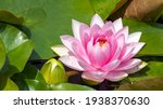 Pink Water Lily With Green...