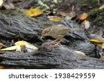 Small photo of puff-throated babbler or spotted babbler