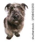 Glen Of Imaal Terrier Dog In A...