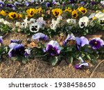Dianthus Chinensis  Purple ...
