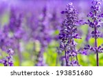 field of fresh violet salvia... | Shutterstock . vector #193851680